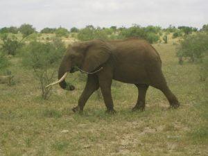 SAFARI IN KENYA, ELEFANTE NELLA SAVANA