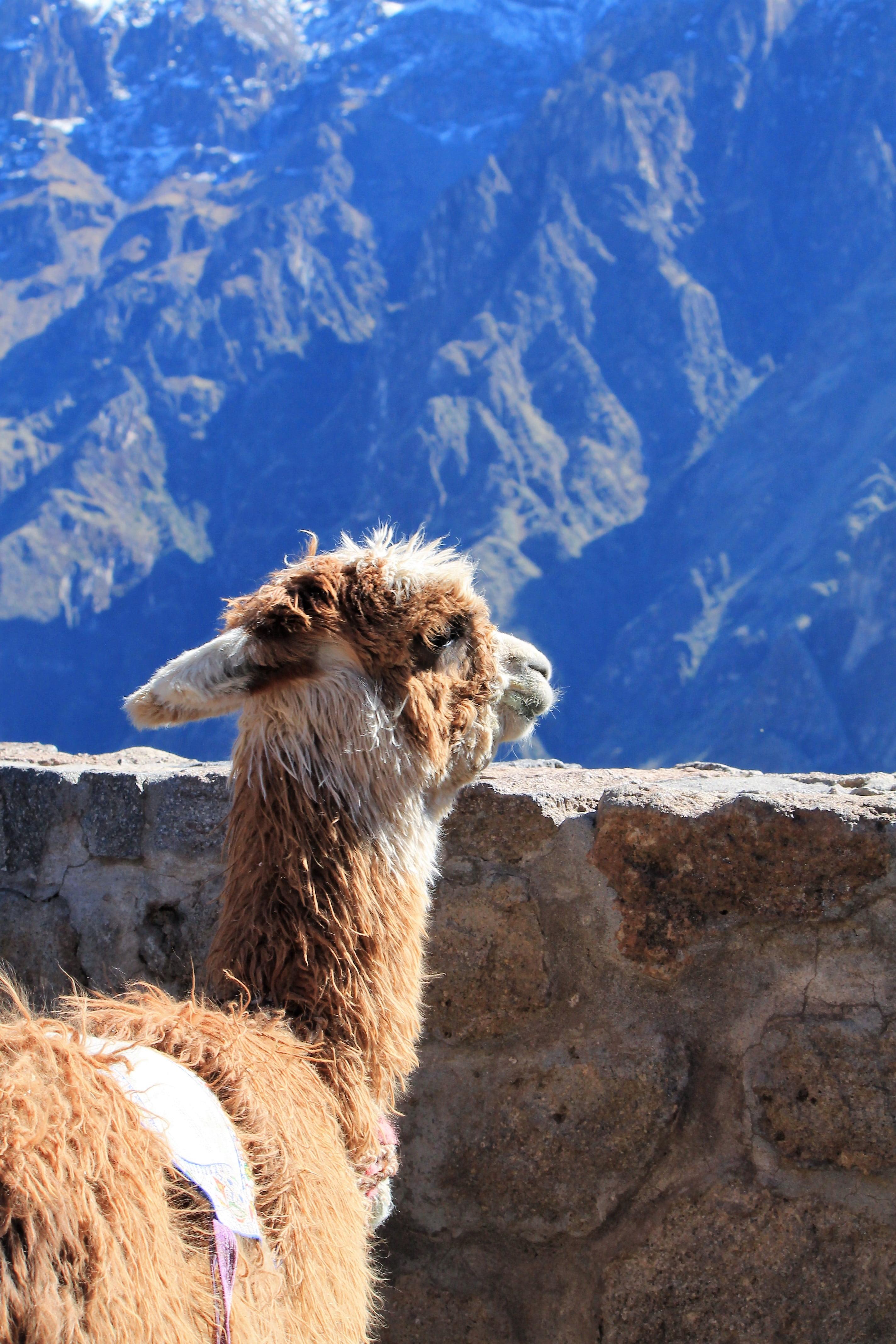 COSA VEDERE IN PERU' CANYON DEL COLCA, LAMA CHE GUARDA IL PAESAGGIO