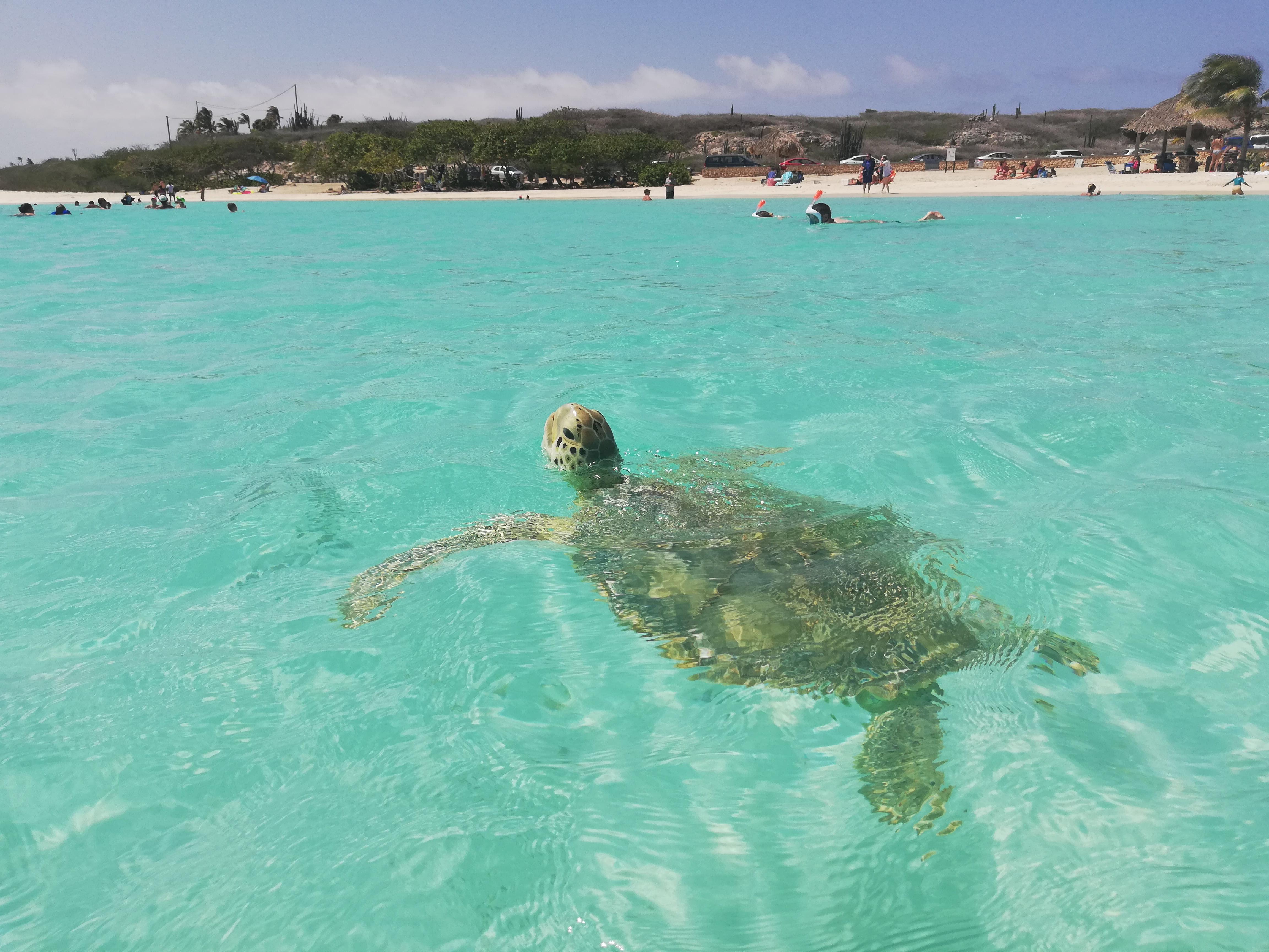 aruba turtle, TARTARUGHE NELL'ISOLA DI ARUBA, BABY BEACH